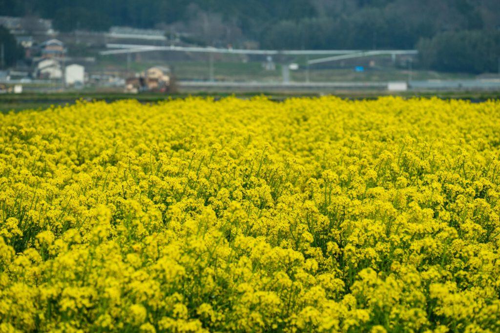 亀岡,菜の花