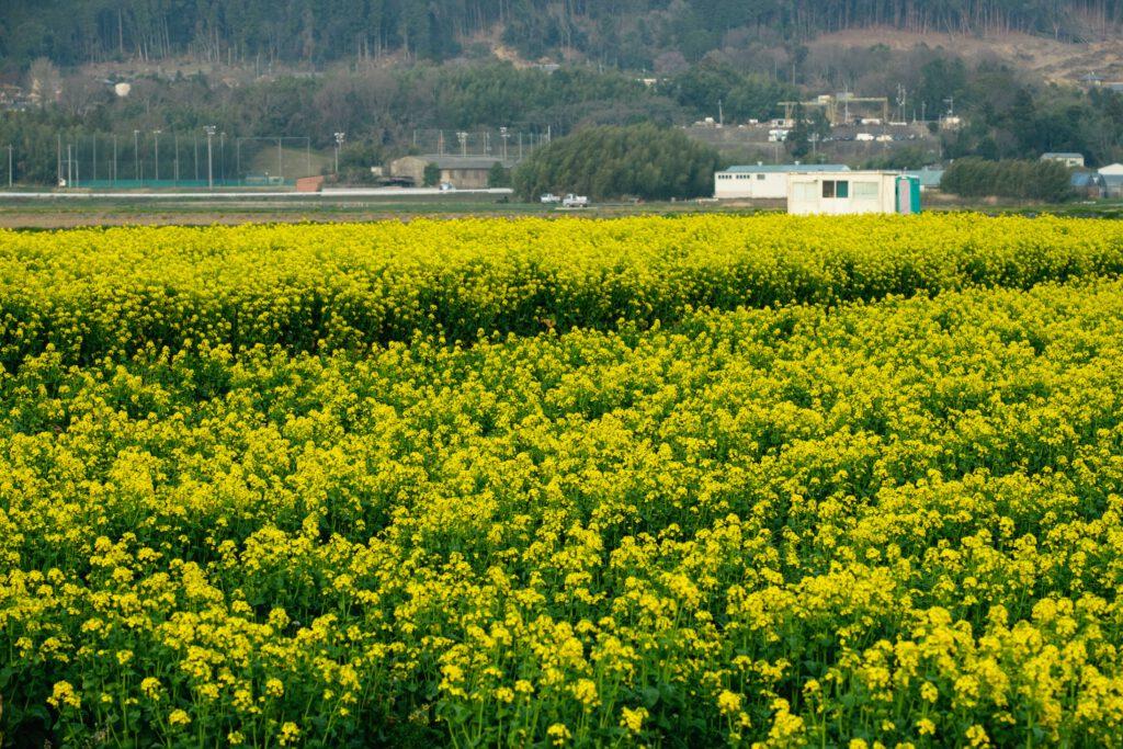 Kameoka, Rape Blossoms