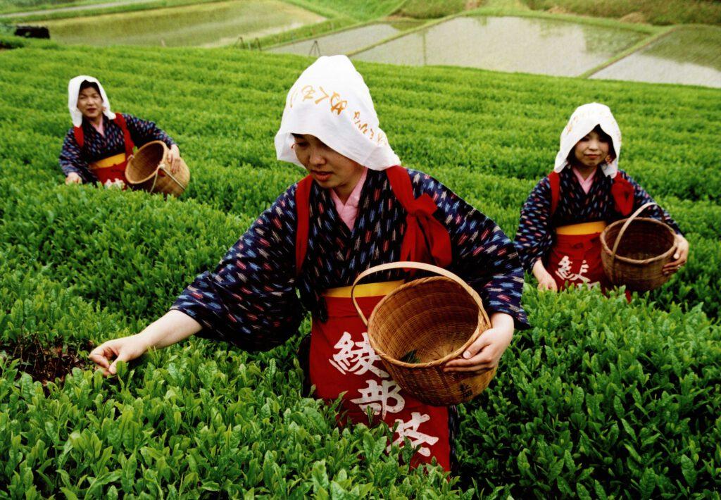 「初茶摘み」