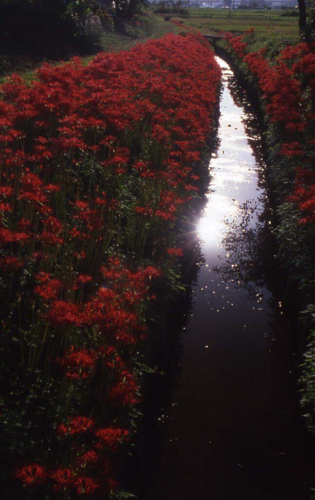 「彼岸花の咲く頃」