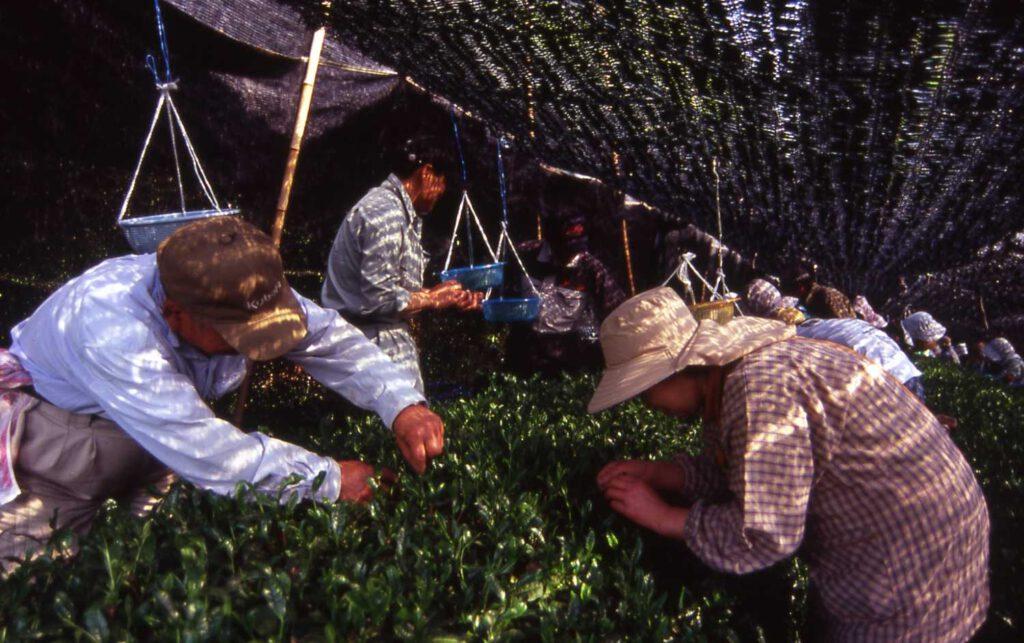 「綾部茶の初摘み」