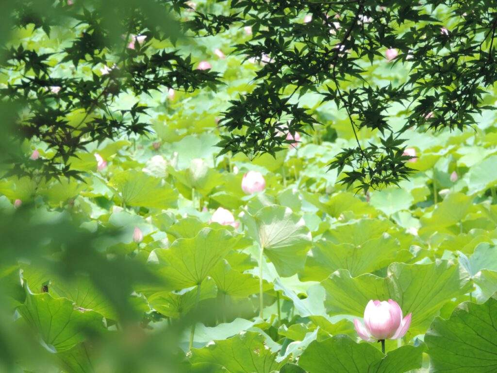 Summer Maple and Lotus Flowers