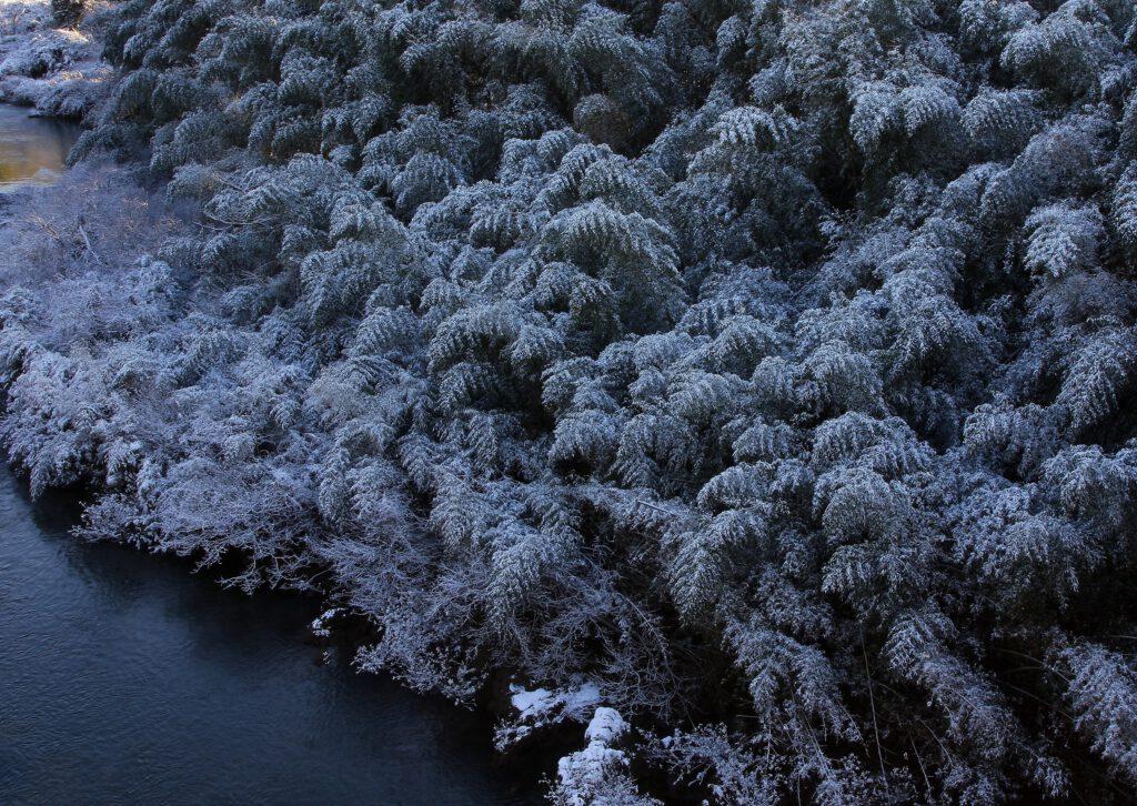 """Bamboo Grove in Light Snow"""