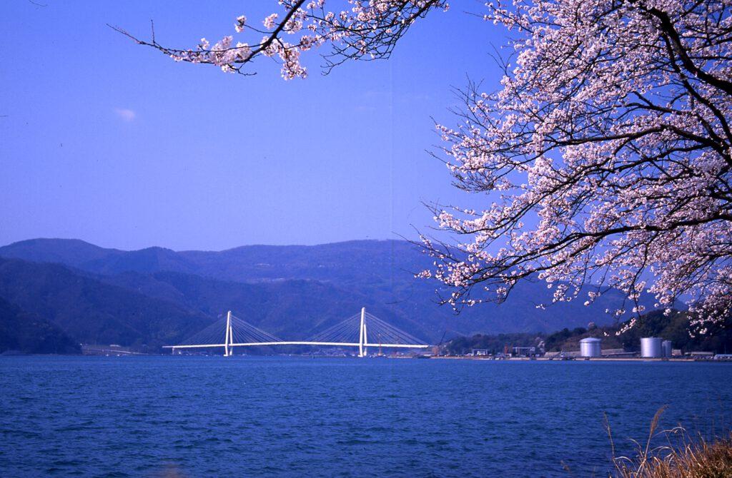 「舞鶴クレインブリッジと大波街道の桜」