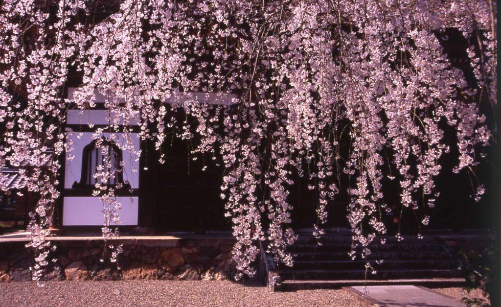 「安国寺のしだれ桜」