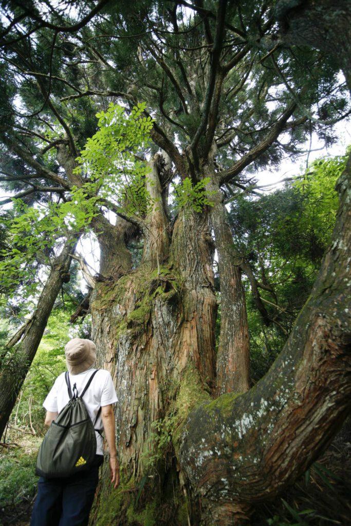 """Kamimiyazu Cedar"""