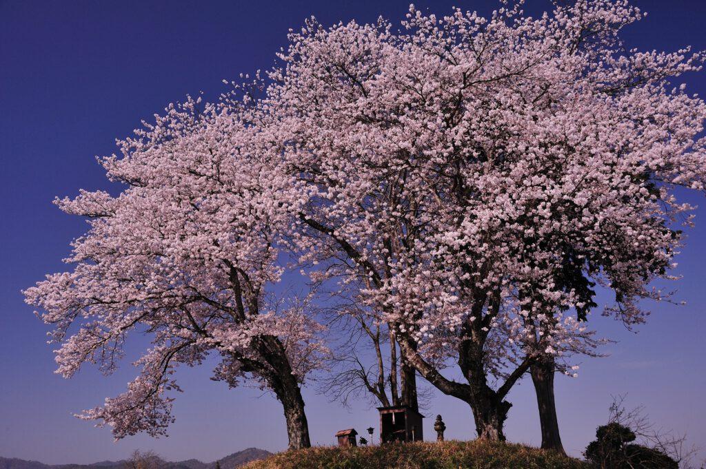 「鎮守の桜