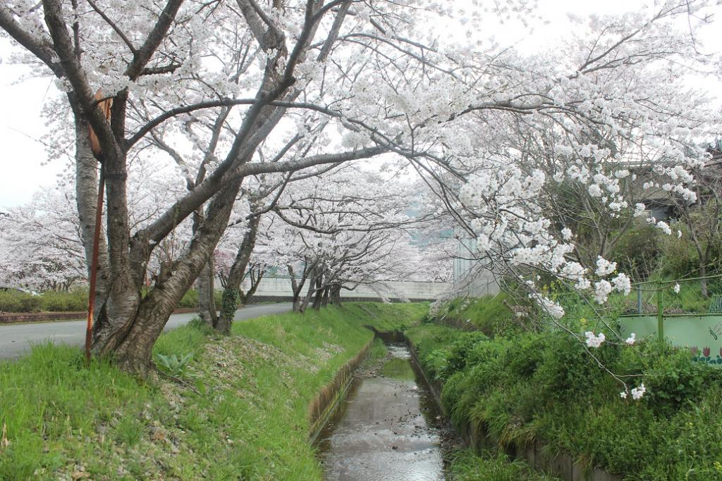 「牧駅の桜」