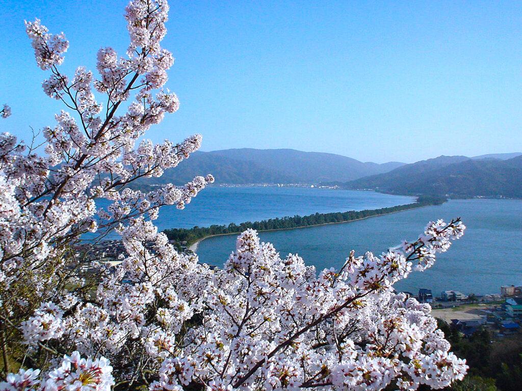 傘松公園 桜