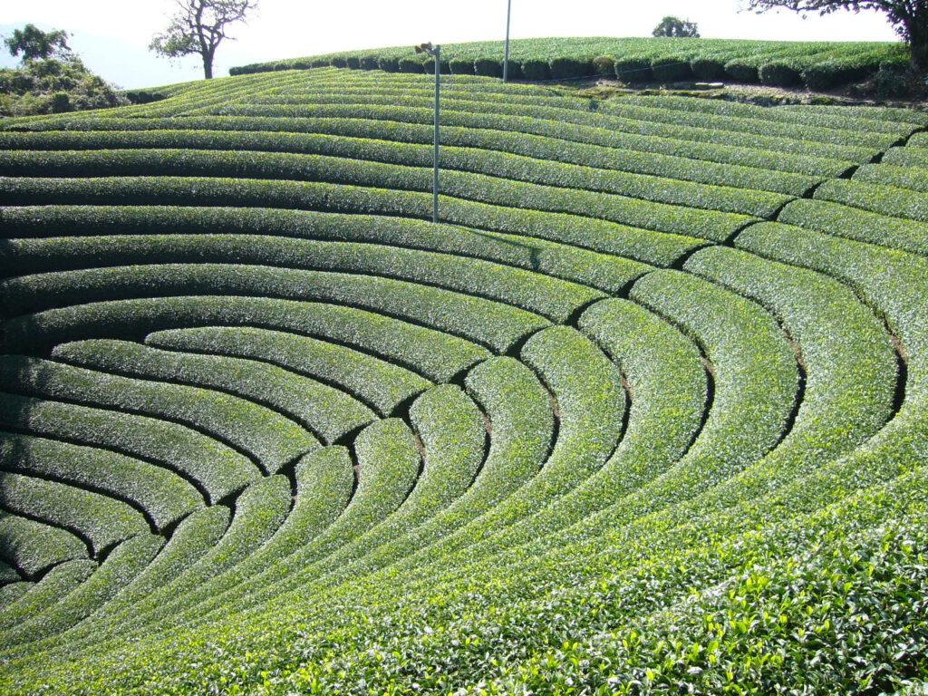 原山:円形茶園