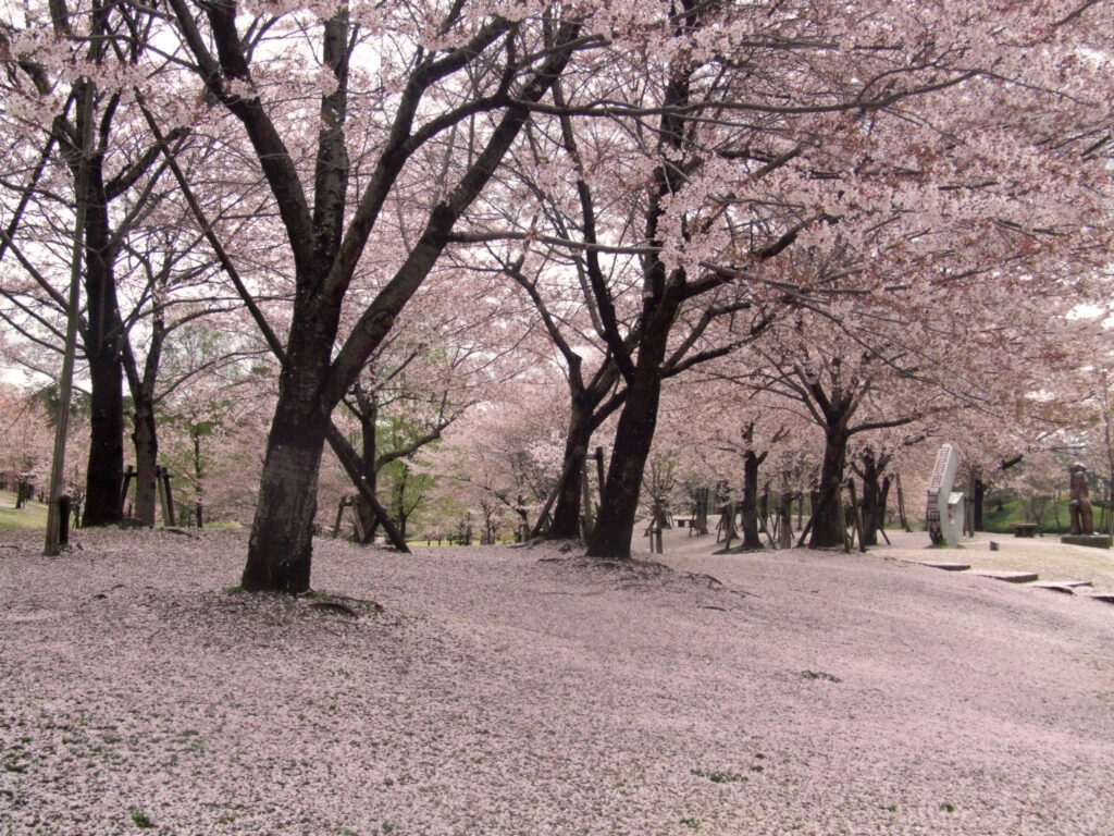けいはんな記念公園:サクラ