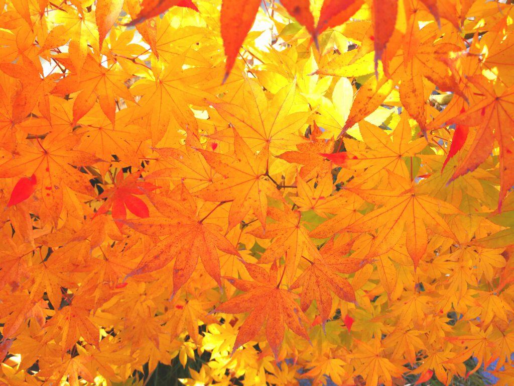 けいはんな記念公園:観月デッキ 黄紅葉