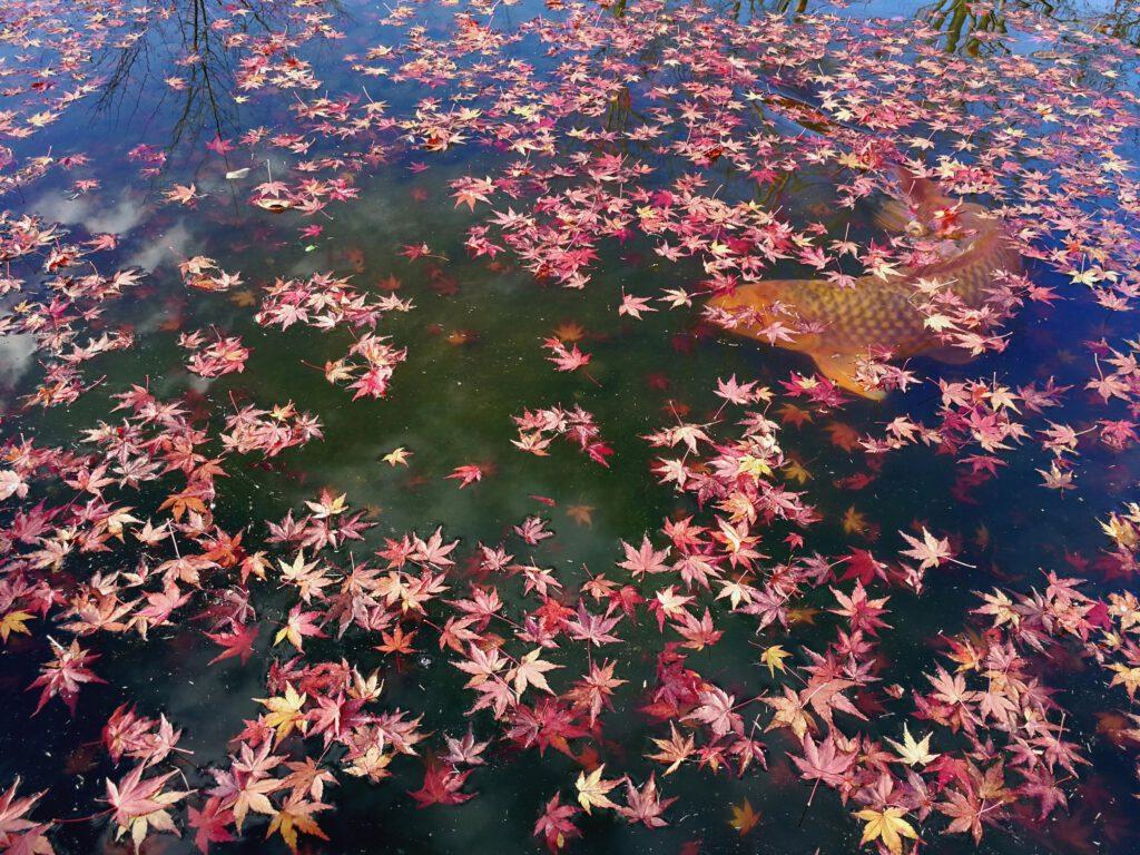 けいはんな記念公園:鯉 散紅葉
