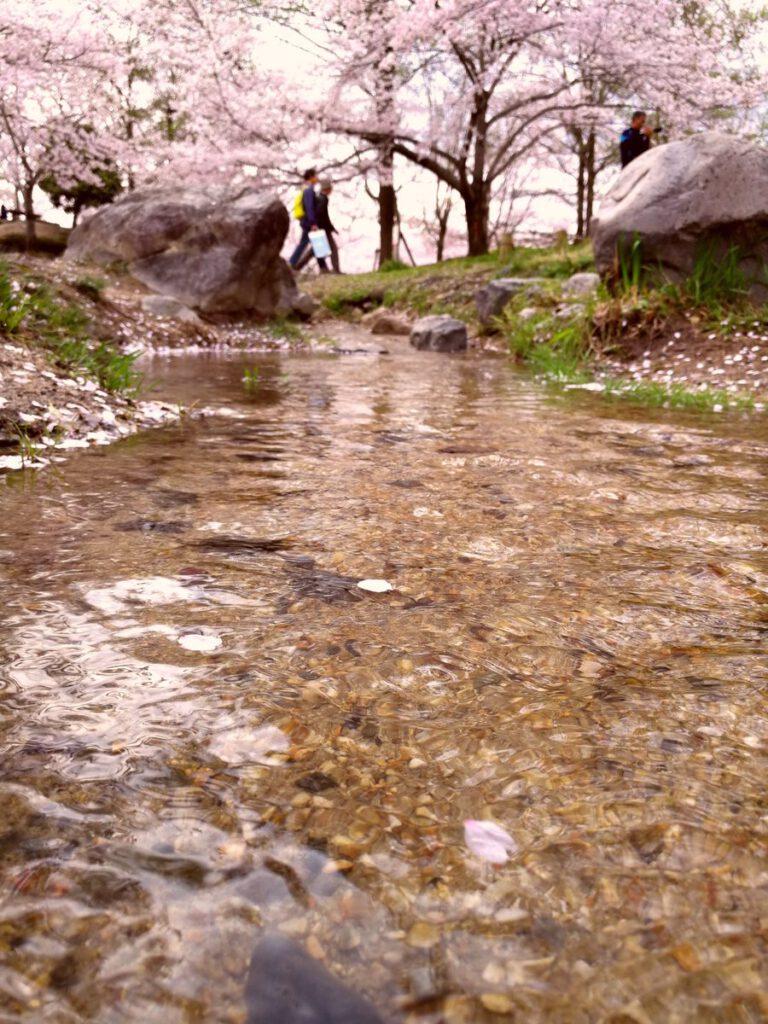 けいはんな記念公園:桜 小川
