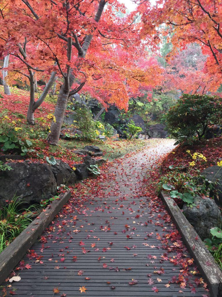 けいはんな記念公園:散りもみじ(モミジ谷)