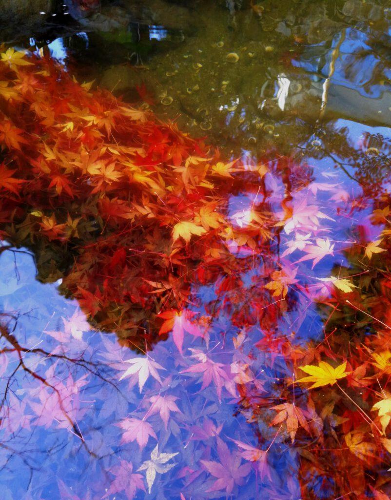 けいはんな記念公園:流れもあへぬ 紅葉なりけり