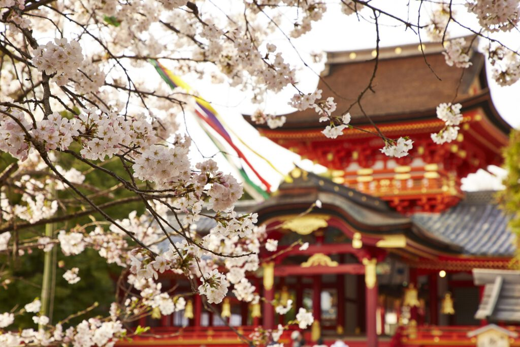 石清水八幡宮:桜1
