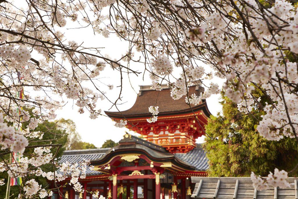 石清水八幡宮:桜2
