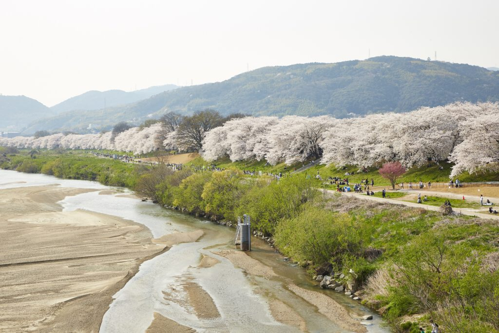 背割堤桜並木2