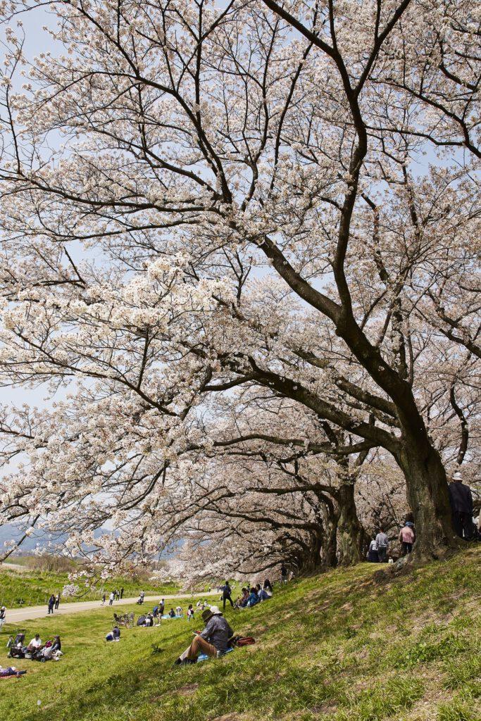 背割堤桜2