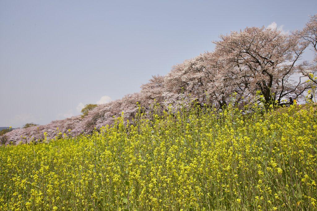 背割堤桜3
