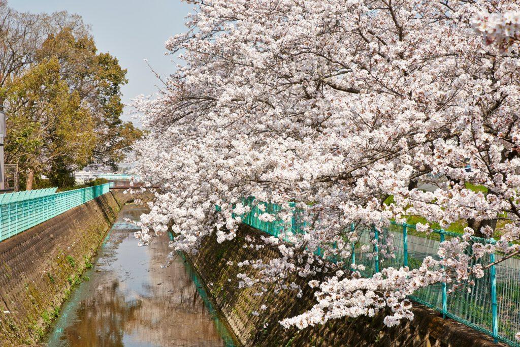 防賀川:桜並木1