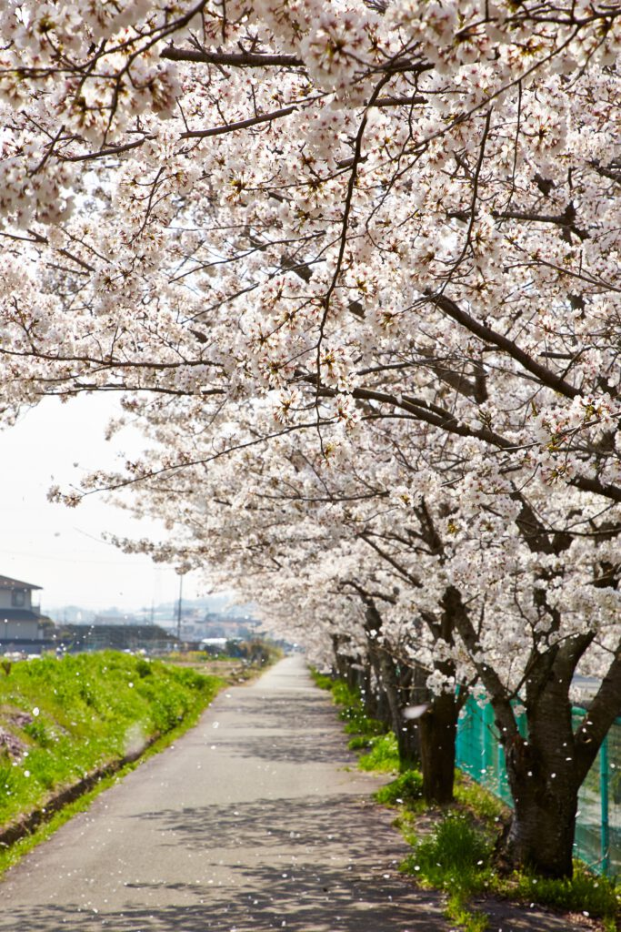 防賀川:桜並木3