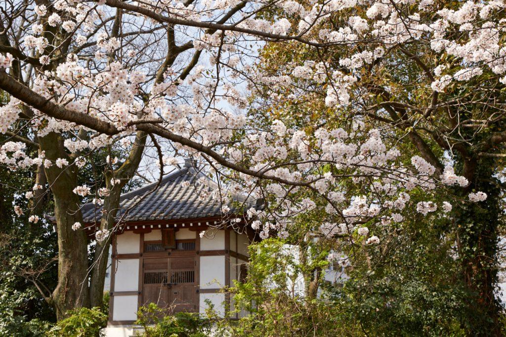 防賀川:桜並木4