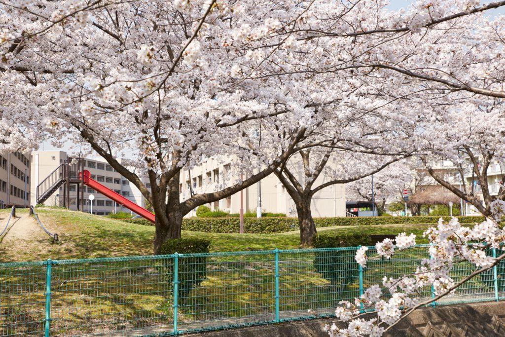 防賀川:桜並木5