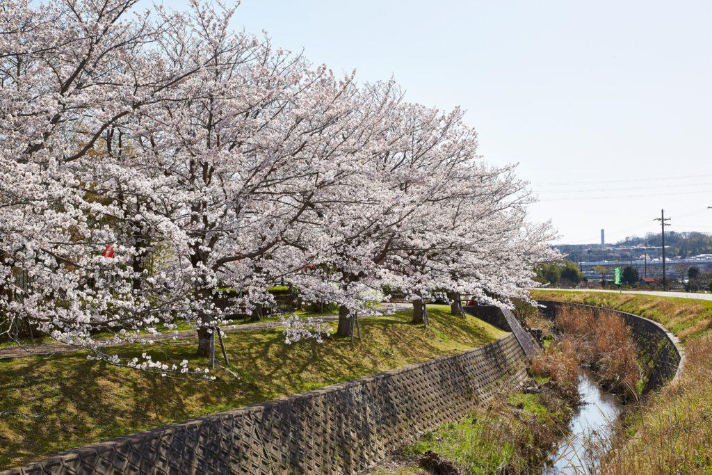 ふれあい広場:桜1
