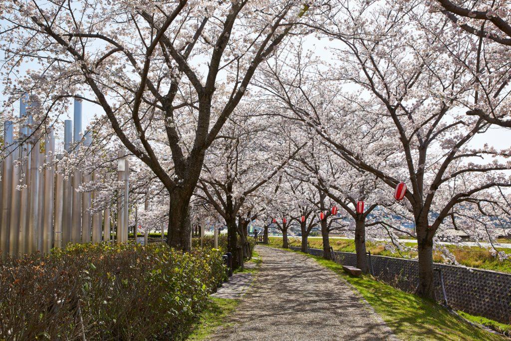 ふれあい広場:桜2