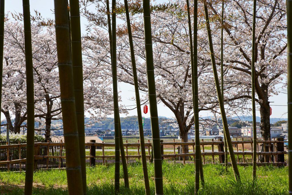 ふれあい広場:桜5