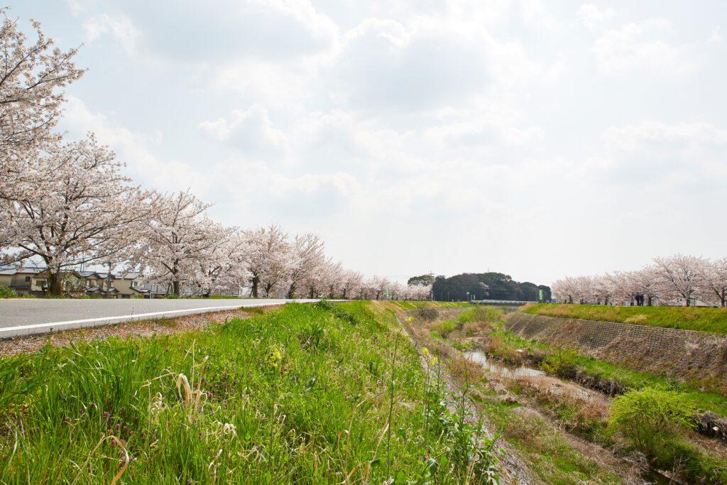 ふれあい広場:桜7
