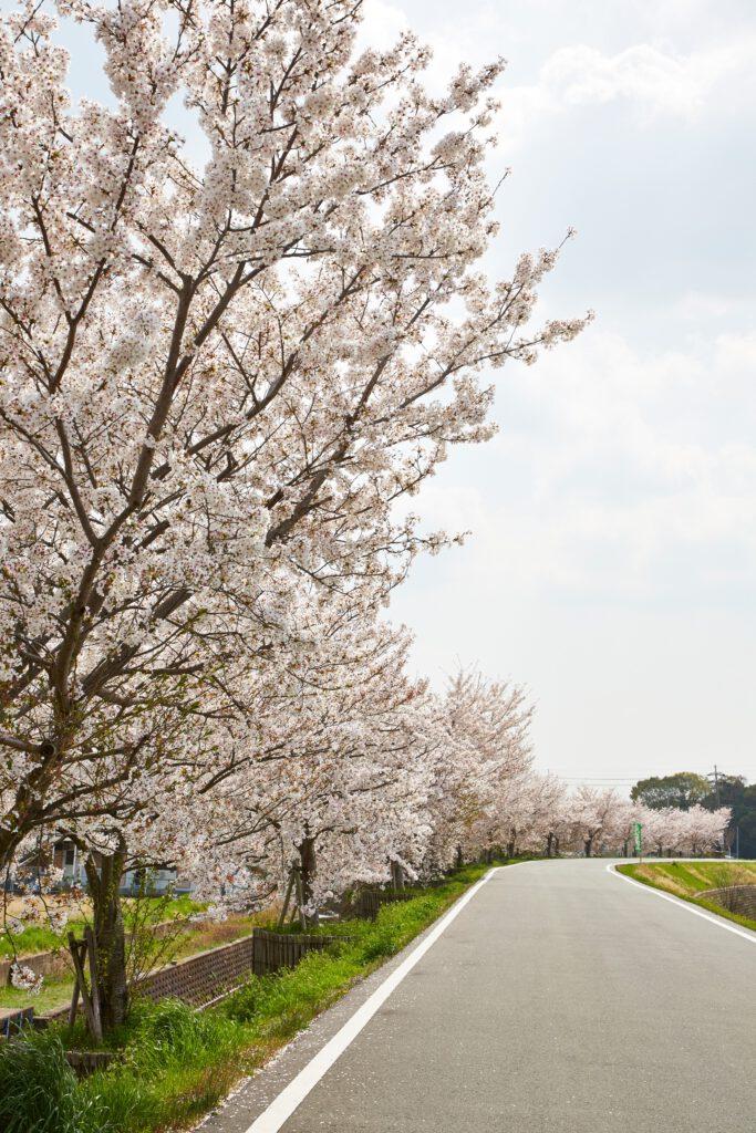 ふれあい広場:桜8