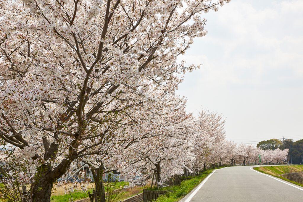 ふれあい広場:桜9