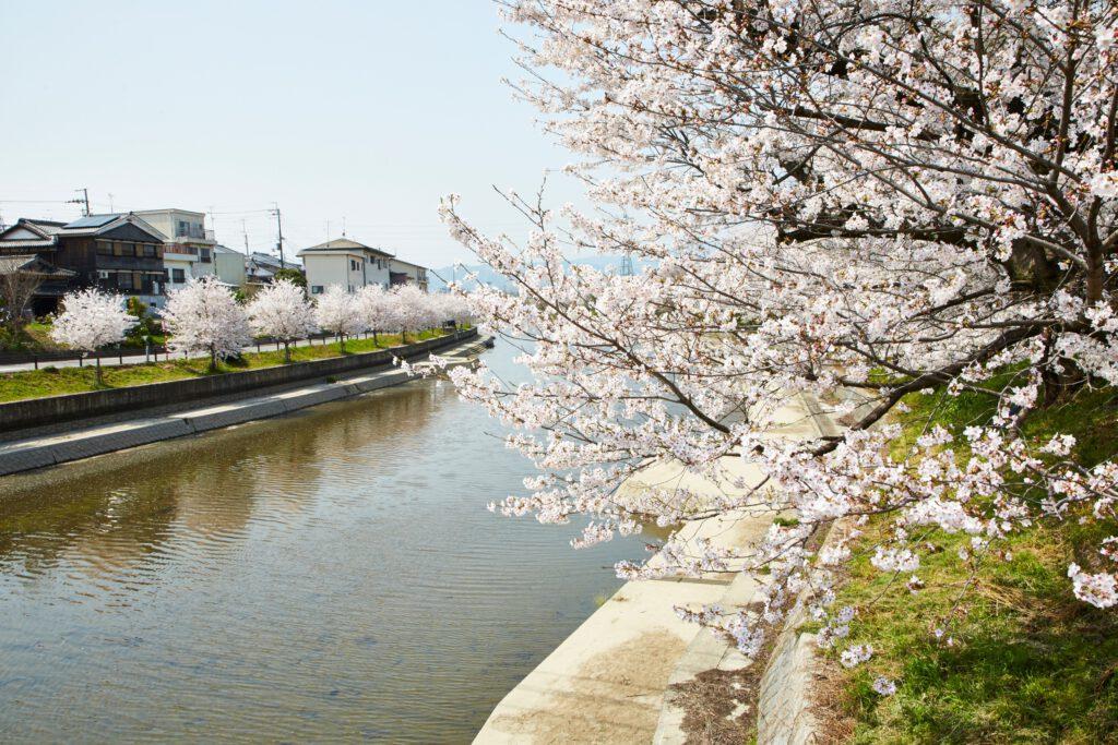 前川堤:桜1