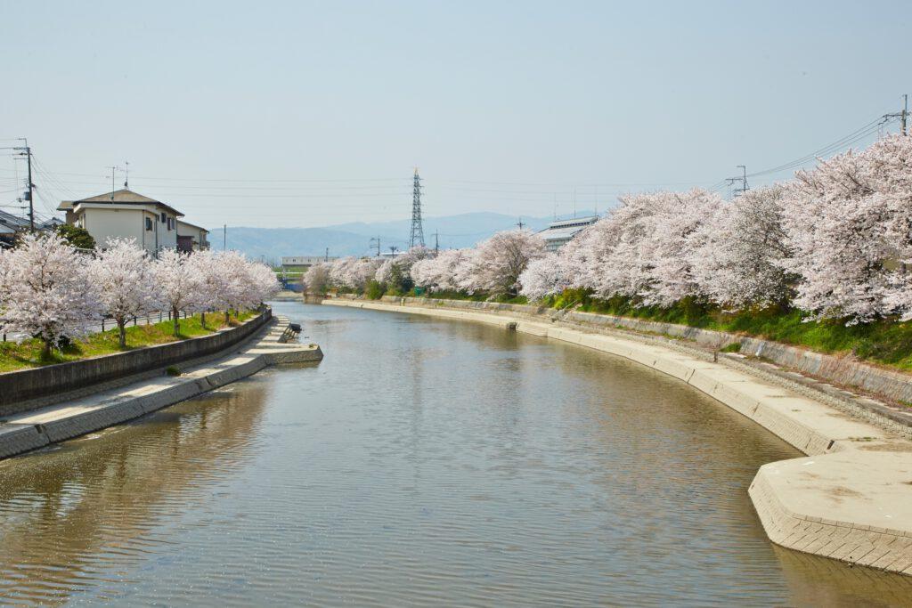 前川堤:桜2