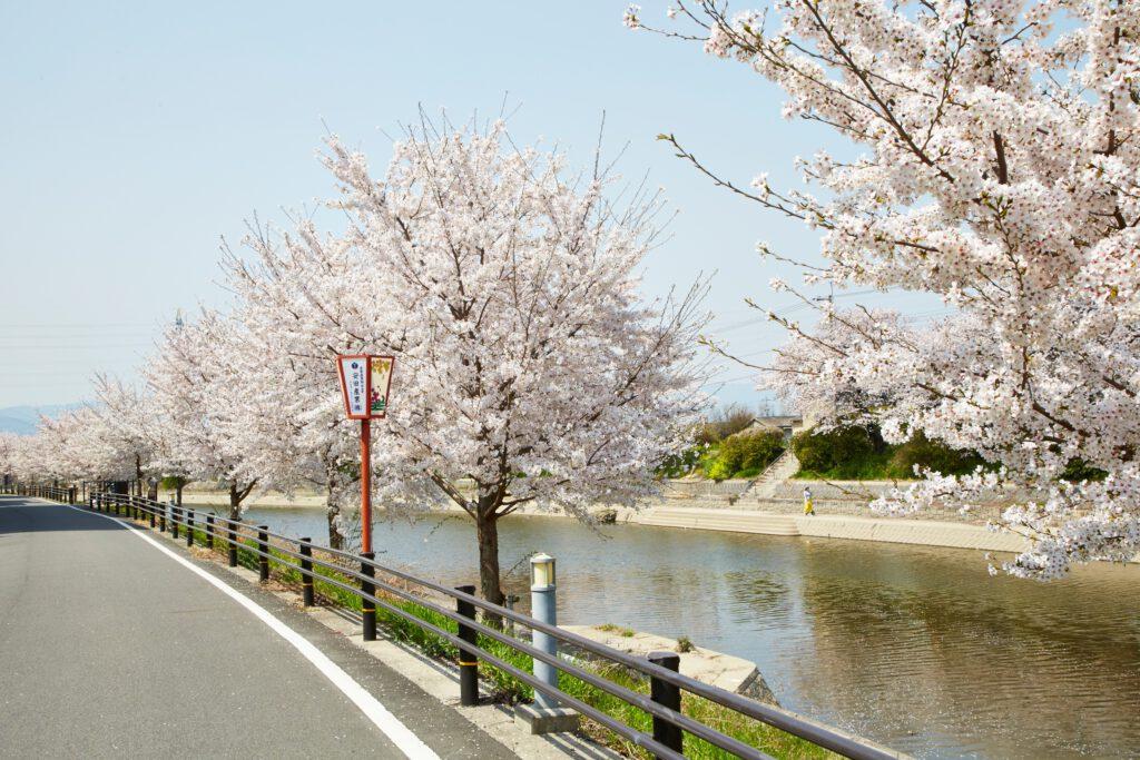 前川堤:桜3