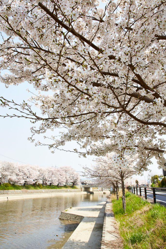 前川堤:桜4