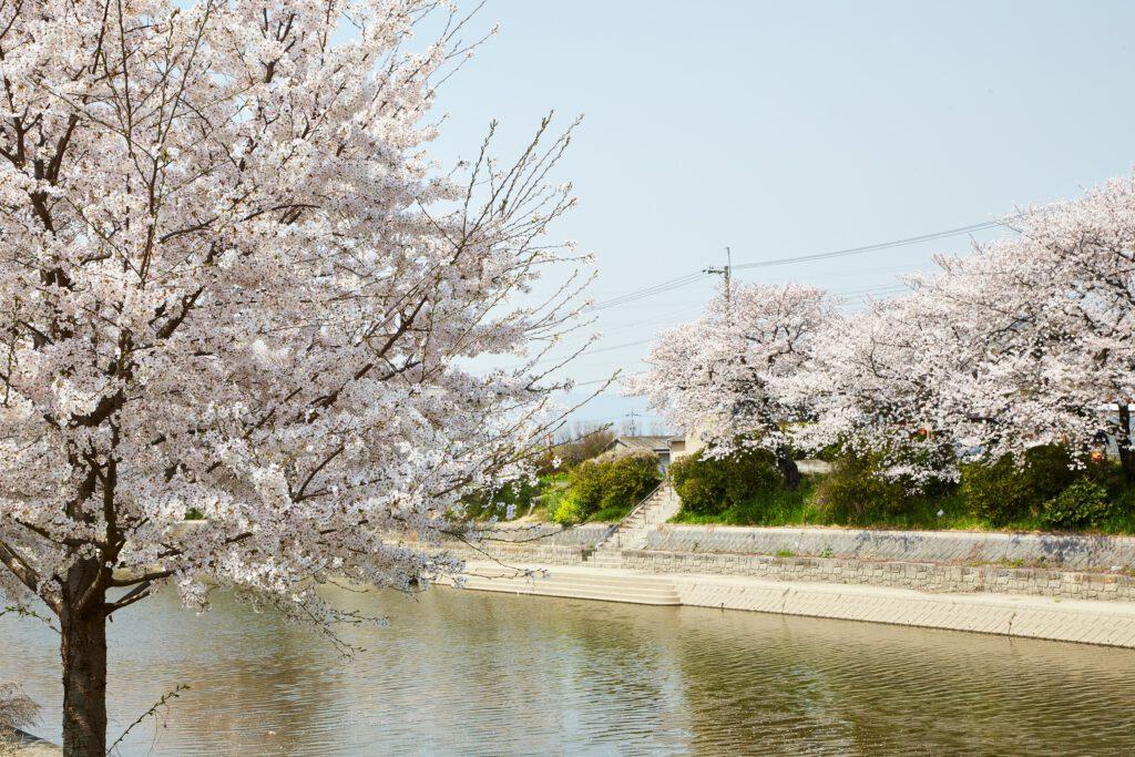 前川堤:桜6