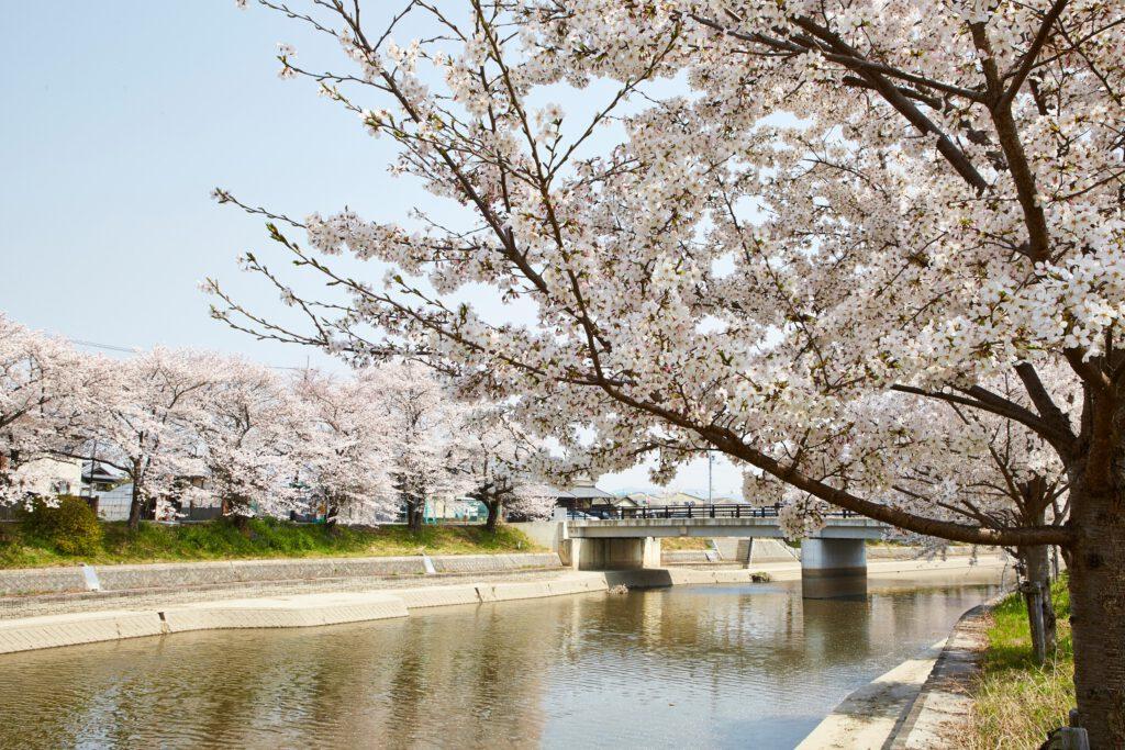 前川堤:桜5