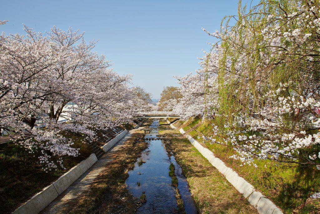 井手の玉川:桜1