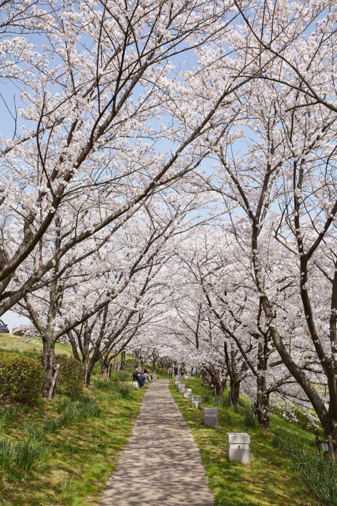 桜づつみ寺田緑地:桜2