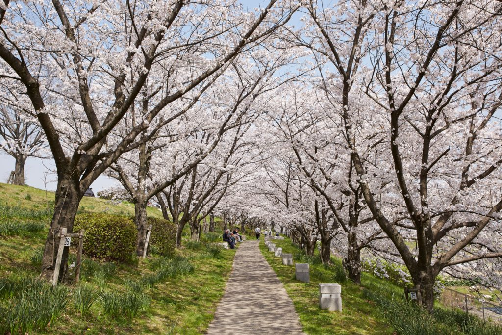 桜づつみ寺田緑地:桜3