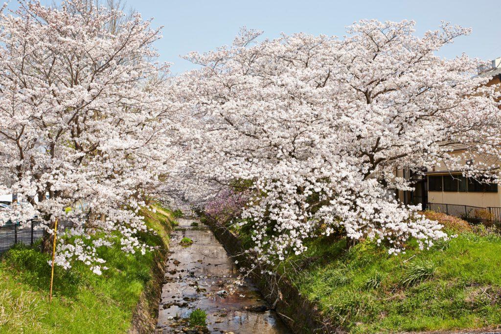 馬坂川:桜並木1