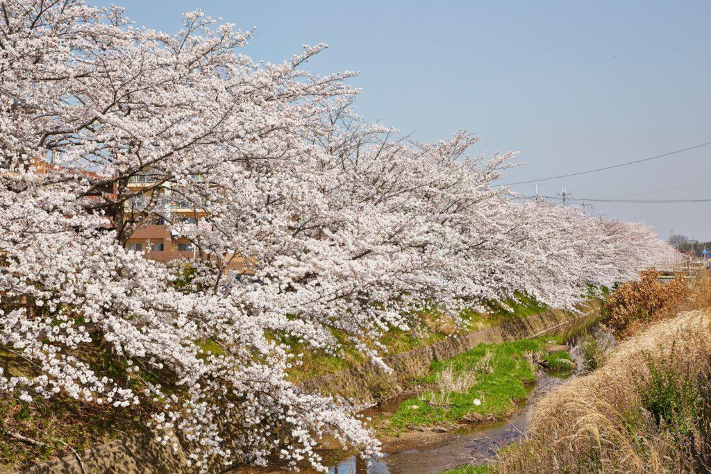 馬坂川:桜並木2