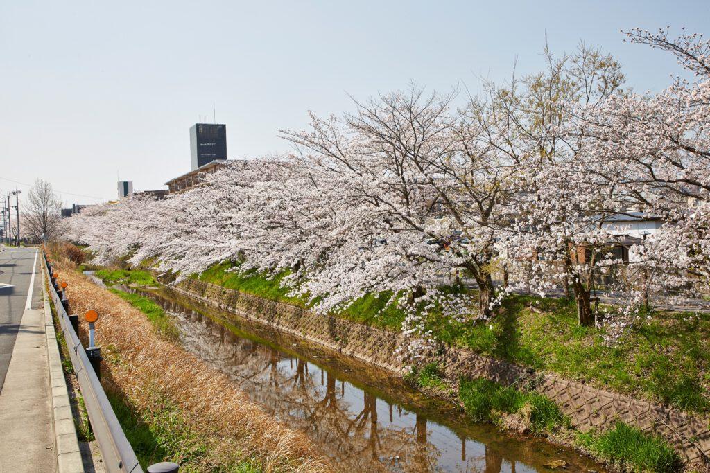 馬坂川:桜並木3