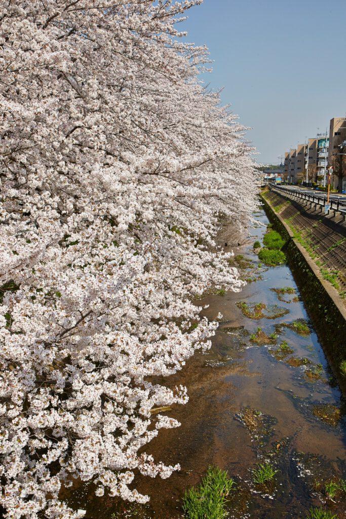 馬坂川:桜並木4