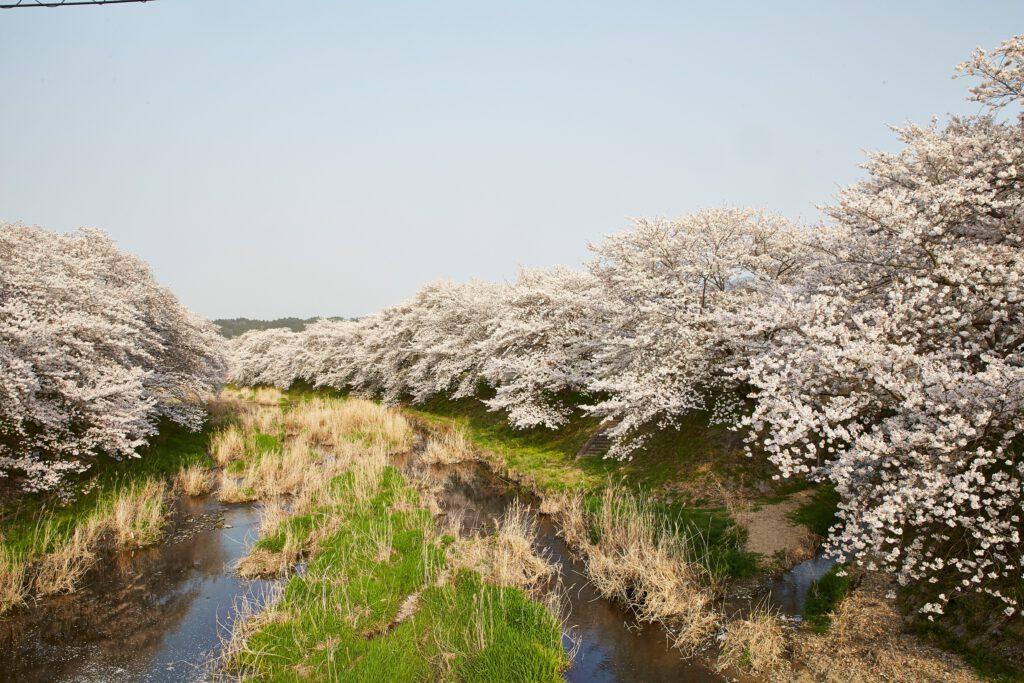 やすらぎの道:桜1