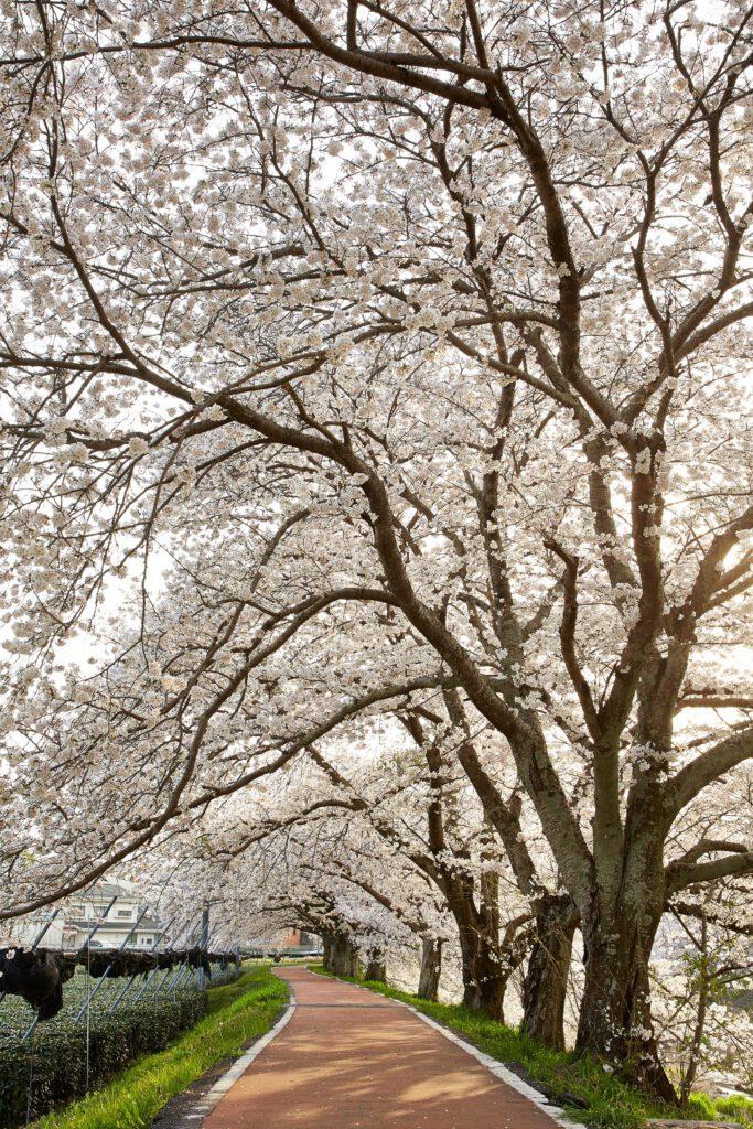 やすらぎの道:桜2